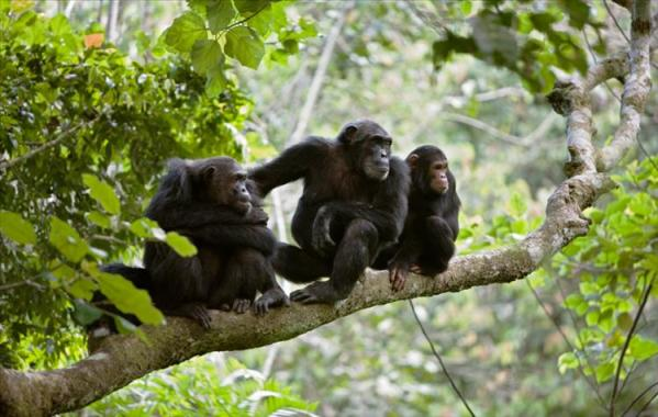 gombe-chimps
