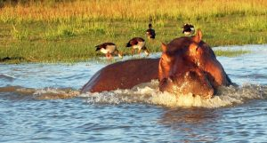 hippo-prepares-to-charge-at-selous-game-preserve